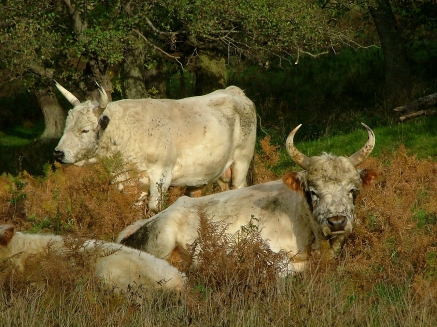 Wild Cattle at Chillingham Castle