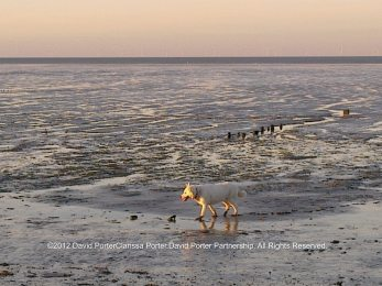 Bear the Husky walking along the muddy shoreline