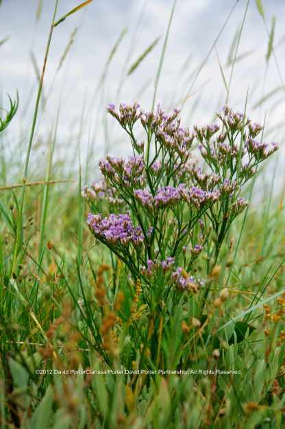 Sea Lavender growing on North Kent marshes at Harty