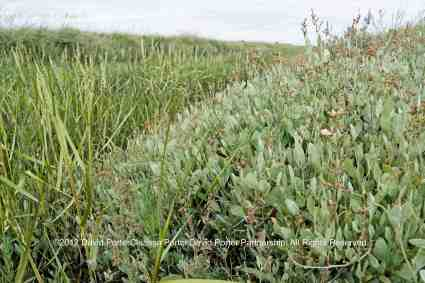 Sea Purslane growing on the marshes