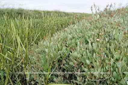 Sea Purslane growing on the marshes