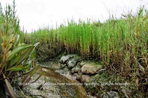 Marsh Samphire, or, Glasswort