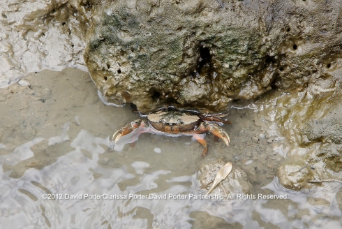 Crab in a drainage ditch on Harty Marshes, Kent, England.